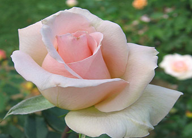 pinkrose394x284