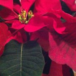 holiday-poinsetta